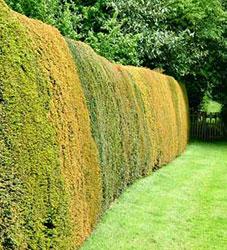 Жива ограда – как, къде и с какво? Plet1