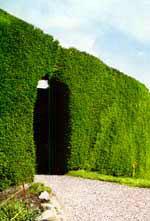 Жива ограда – как, къде и с какво? Plet4